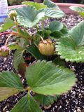 Green strawberries. Strawberries growing in my garden last summer about to turn ripe and red royalty free stock photo