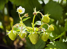 Green strawberries Stock Photography