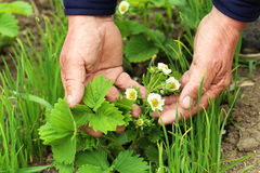 Green strawberries. Old male hands holding green strawberries, close up Stock Image