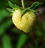 Green strawberry Stock Photography