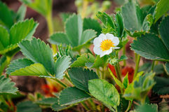 Green strawberry bush blooms. In summer Royalty Free Stock Images