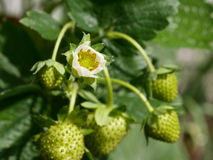 Green strawberry and flower Stock Image