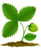Green strawberry fruit with green leafs stock illustration