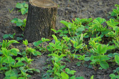 Green strawberry growth in early spring. Strawberry sprouts on the stump background in early spring Stock Photos