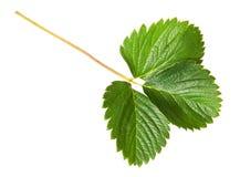 Green strawberry leaf Stock Photo