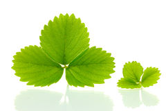 Green strawberry leaves Royalty Free Stock Image