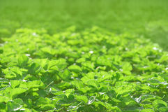 Green strawberry leaves background. In shallow DOF, focus on the front Royalty Free Stock Images