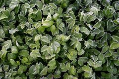 Green strawberry leaves covered with ice crystals, frost on the plants, freeze close-up royalty free stock photo