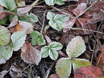 Free Green Strawberry Leaves Covered With Ice Crystals, Frost On The Plants, Freeze Close-up Stock Images - 164115504
