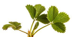 Green strawberry leaves isolated on white. Background royalty free stock image