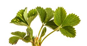 Green strawberry leaves isolated on white. Background royalty free stock photos