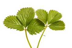 Green strawberry leaves isolated on white. Background stock image