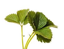 Green strawberry leaves isolated on white. Background royalty free stock images