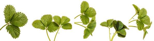 Green strawberry leaves isolated on white. Set. Green strawberry leaves isolated on white background. Set stock photo
