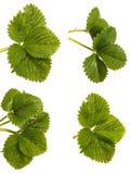 Green strawberry leaves. Isolated on white. Set. Green strawberry leaves. Isolated on white background. Set stock photo
