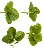 Green strawberry leaves. Isolated on white. Set. Green strawberry leaves. Isolated on white background. Set stock photos