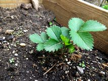 Green strawberry plant stock photo