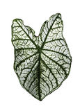 Green stripe leaf of Colocasia isolated Royalty Free Stock Photo