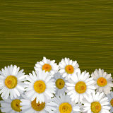 Green striped background with many flowers of camomile Stock Photos