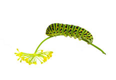Green striped caterpillar Royalty Free Stock Image