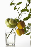 Green striped cavern tomatoes on twig in glass of water on white background Stock Image