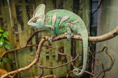 Green striped chameleon sits on a branch stock images