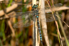 Green-striped Darner Dragonfly Royalty Free Stock Photography