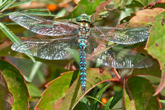 Green-striped Darner Dragonfly Royalty Free Stock Photos