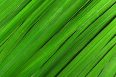 Green striped leaf for iris flowers Royalty Free Stock Images