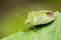 Green Striped Shield Bug Or Stink Bug Royalty Free Stock Photo