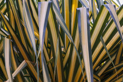 Green stripes of a bunch of palm leafs. The reflections of green stripes of a bunch of palm leafs backlit by the sun royalty free stock photos