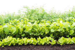Green stuff, verdure growing on soil. In the garden Royalty Free Stock Photos