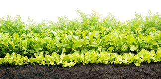 Green stuff, verdure growing on soil. In the garden Royalty Free Stock Photography