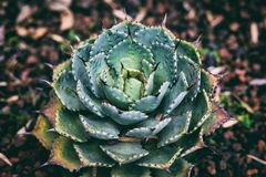 Green Succulent Royalty Free Stock Images