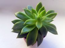 Green Succulent With Brown Pot Royalty Free Stock Image