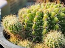 Green succulent cactus closeup Stock Photos