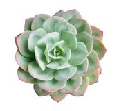 Green Succulent Cactus Flower Plant Top View Isolated On White Background, Path Stock Photo