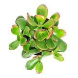 Green succulent cactus plant isolated white background. Green succulent cactus plant isolated on white background. Top view royalty free stock images