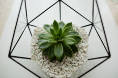 Green succulent in a glass pot in white loft interior in scandinavian style Royalty Free Stock Photo