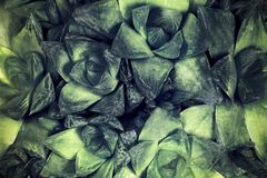 Green succulent. Toned background image royalty free stock photos