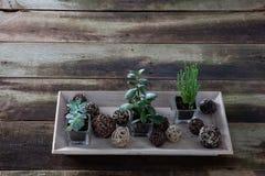 Green succulent houseplants in horizontal tray for indoor flora garden Royalty Free Stock Photo