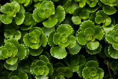 Green Succulent Leaves. A closeup, filled frame shot of lush, green succulent leaves stock photography