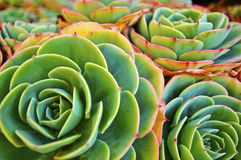 Green Succulent Plant. Close up of a green and red succulent plant showing patterns and symmetry of nature