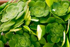 Green succulent plant. Grows in a flower bed stock photo