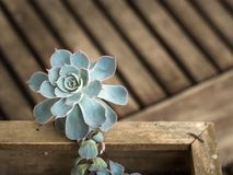 Green succulent plant. In a wooden box on a wooden table royalty free stock image