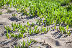 Green succulent plant growing on sand Stock Images