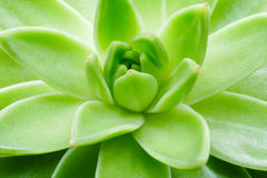 Green succulent plant macro close up background. royalty free stock photography