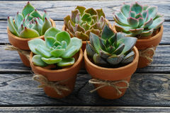 Green succulent plant in pots on wooden background royalty free stock photos