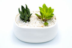 Green succulent plant in white pot isolated on white background Stock Images