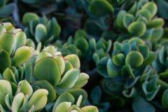 Green succulent plants. Detail of green succulent plants stock image